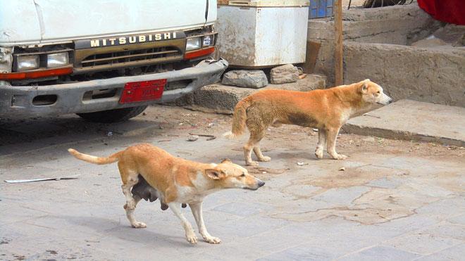 كلاب مسعورة تهدد حياة المواطنين في الشيخ عثمان