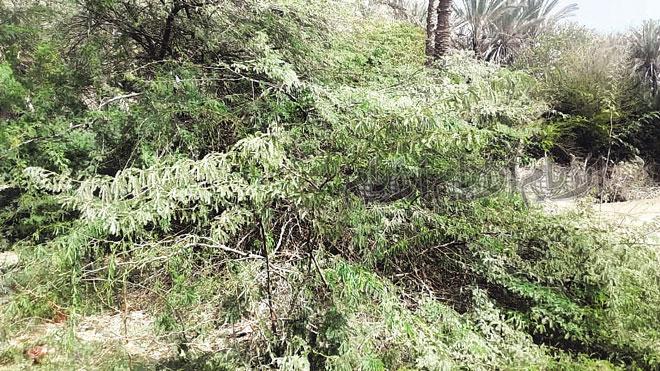 وصل زحف شجرة السيسبان إلى التجمعات السكنية