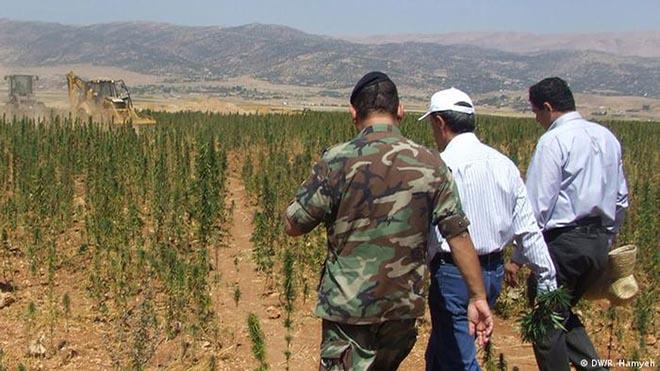 في لبنان تنتشر زراعة الحشيش على مساحات واسعة في البلاد